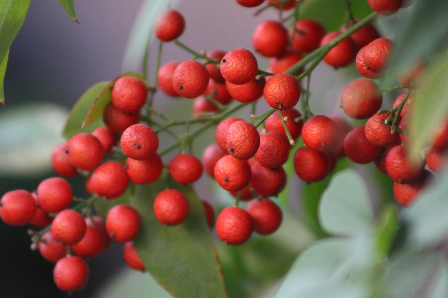 Toyon Photograph - Ruby Red Berries by Colleen Cornelius