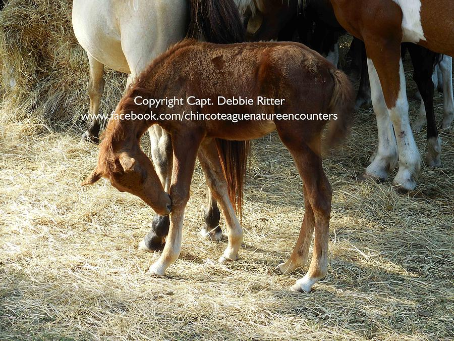 Chestnut Foal Photograph - Ruby Red by Captain Debbie Ritter