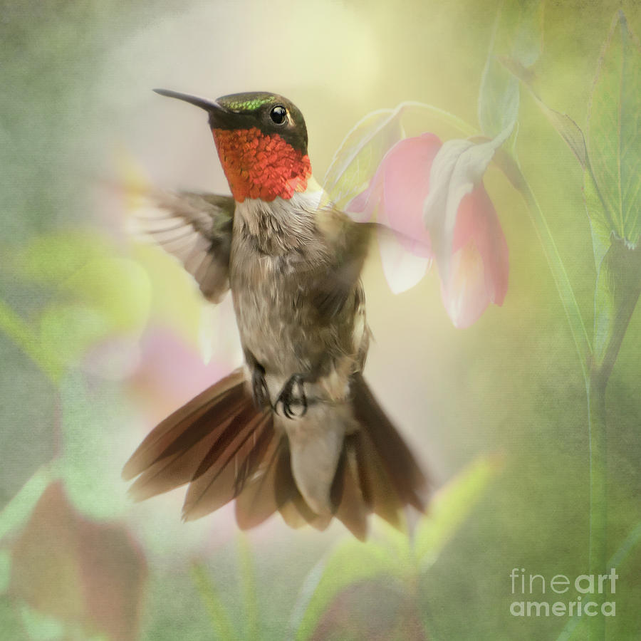 Ruby Red Thorat Hummingbird Pictures by Peggy Franz