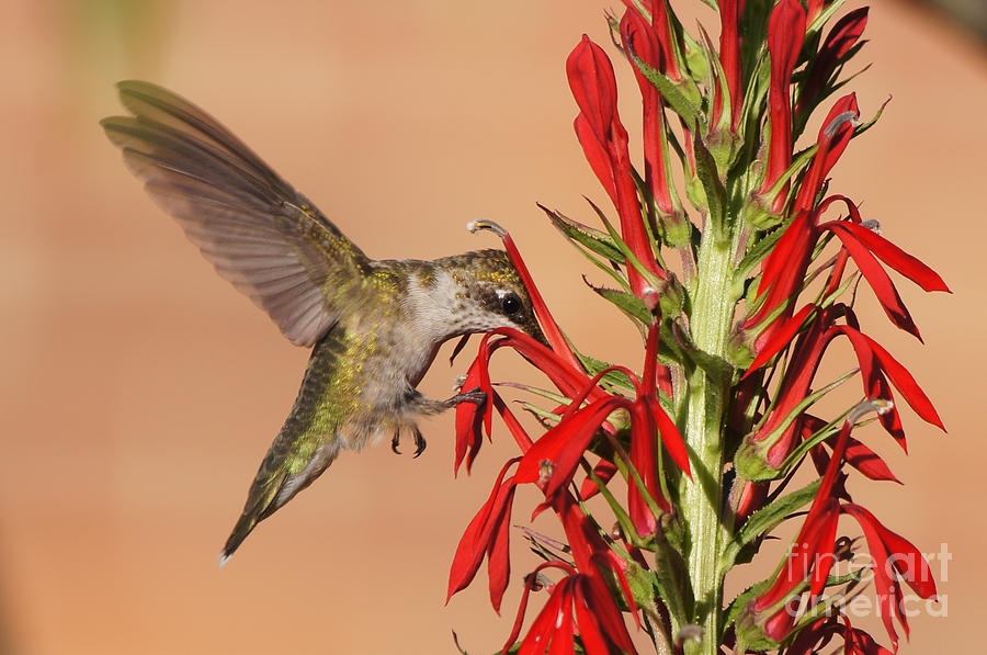 Ruby-Throated Hummingbird Dining on Cardinal Flower by Robert E Alter Reflections of Infinity