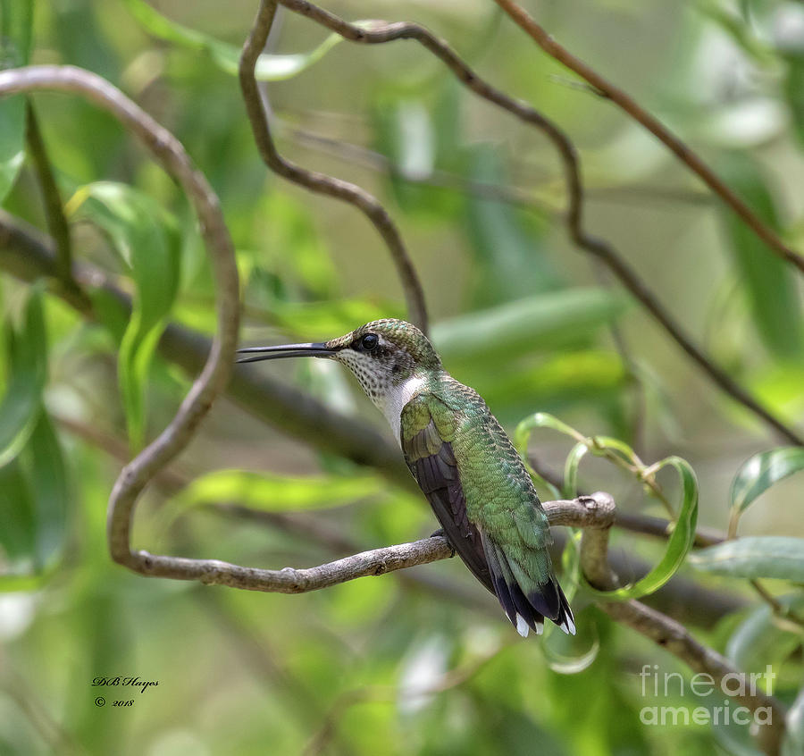 Hummingbirds Photograph - Ruby-throated Hummingbird - Female by Bill And Deb Hayes