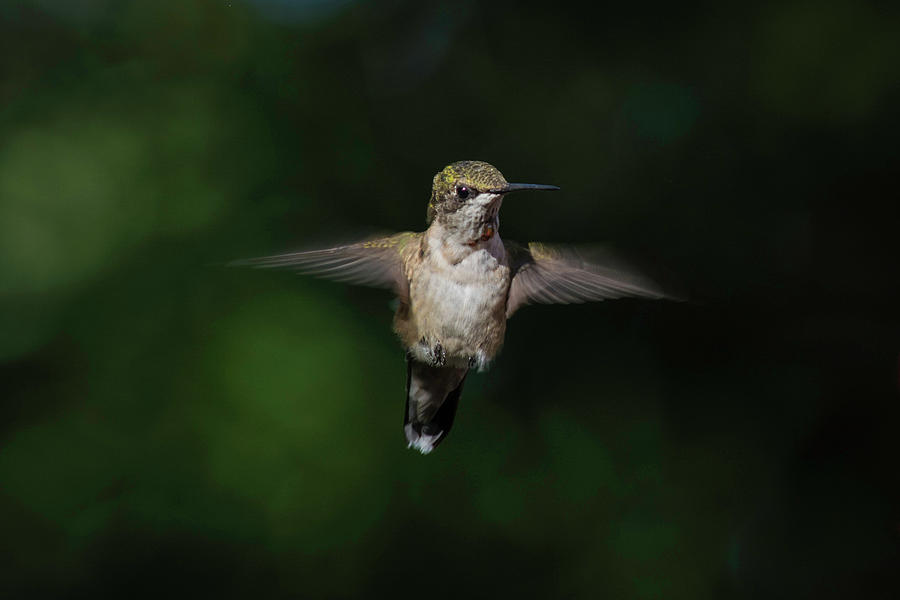 Ruby Throated Hummingbird by Kenneth Cole