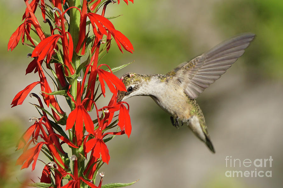 Ruby-Throated Hummingbird Sips on Cardinal Flower by Robert E Alter Reflections of Infinity