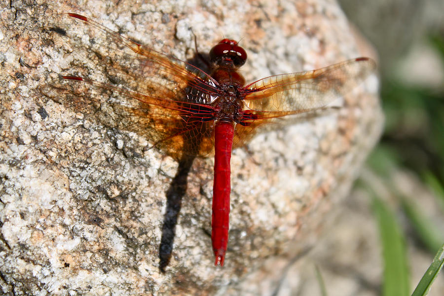 Red Dragonfly Photograph - Ruby by Tracey Levine