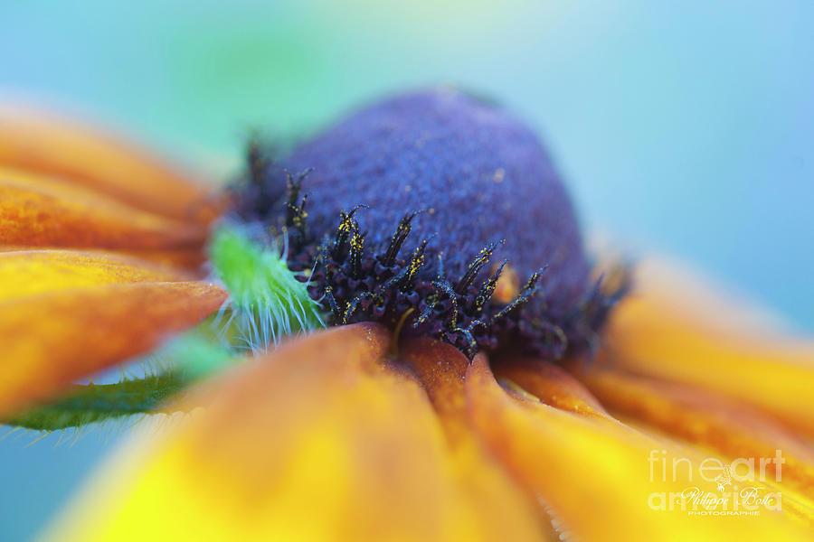 Flower Photograph - Rudbeckia by Philippe Boite