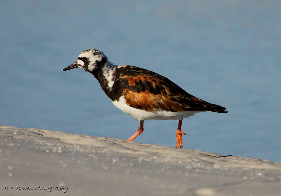 Ruddy Turnstone Photograph - Ruddy Turnstone by Barbara Bowen