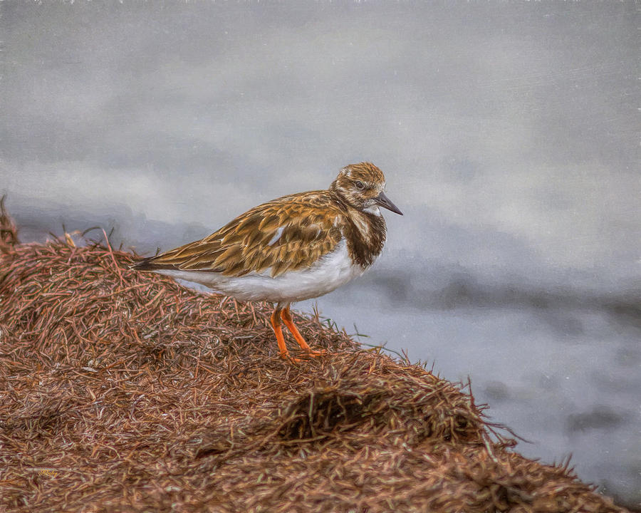 Ruddy Turnstone By The Waters Edge Photograph