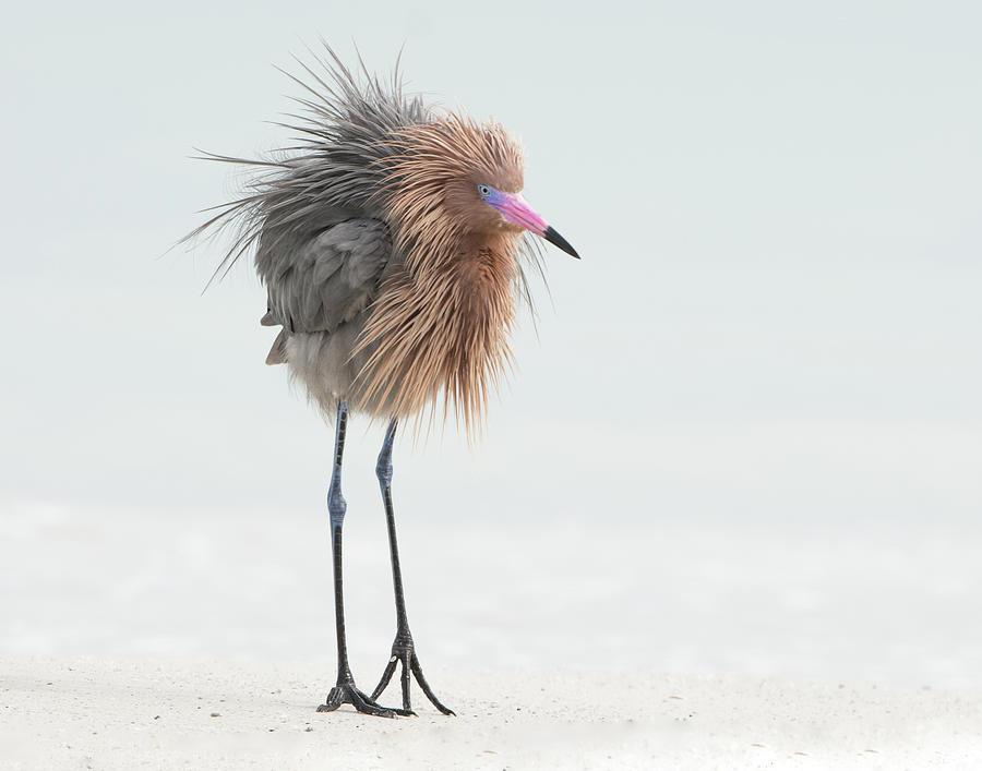 Reddish Egret Photograph - Ruffled Reddish by Jim Gray