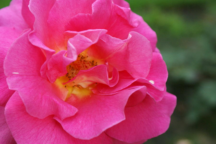 Pink Rose Photograph - Ruffles In Pink by Jacqueline Russell
