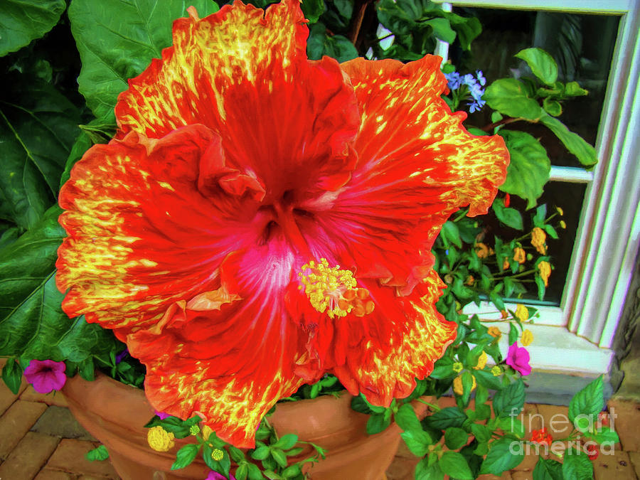 Ruffly Red and Yellow Hibiscus by Sue Melvin