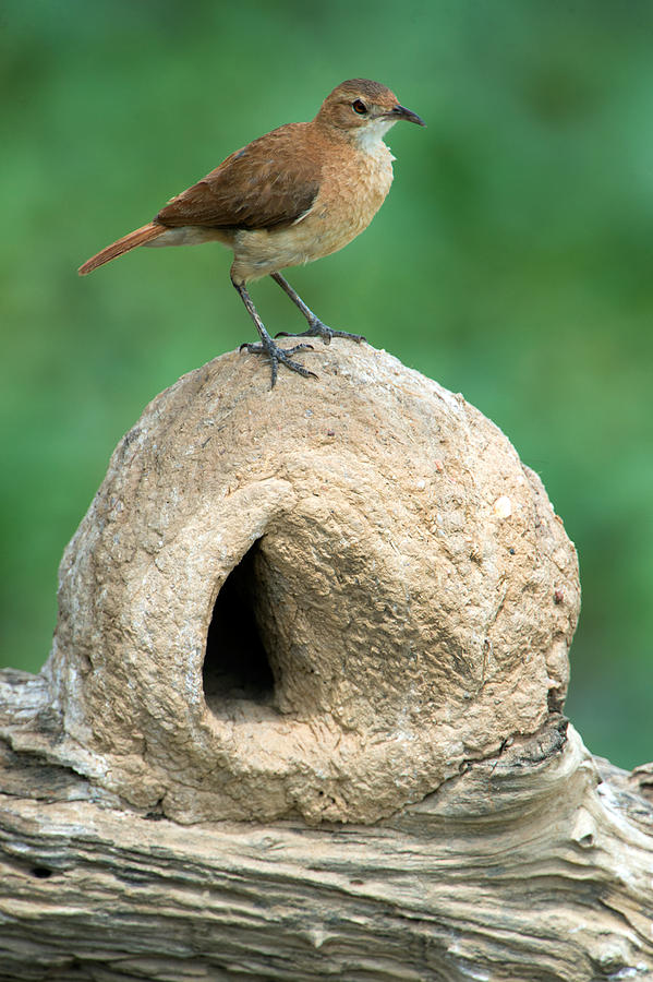 Color Image Photograph - Rufous Hornero Furnarius Rufus On Nest by Panoramic Images