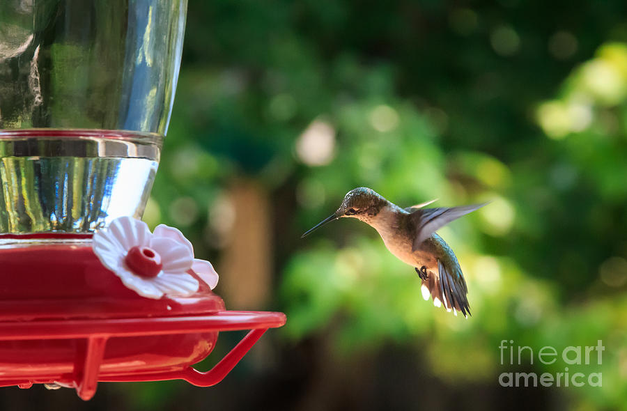 Rufous Huimmingbird Photograph