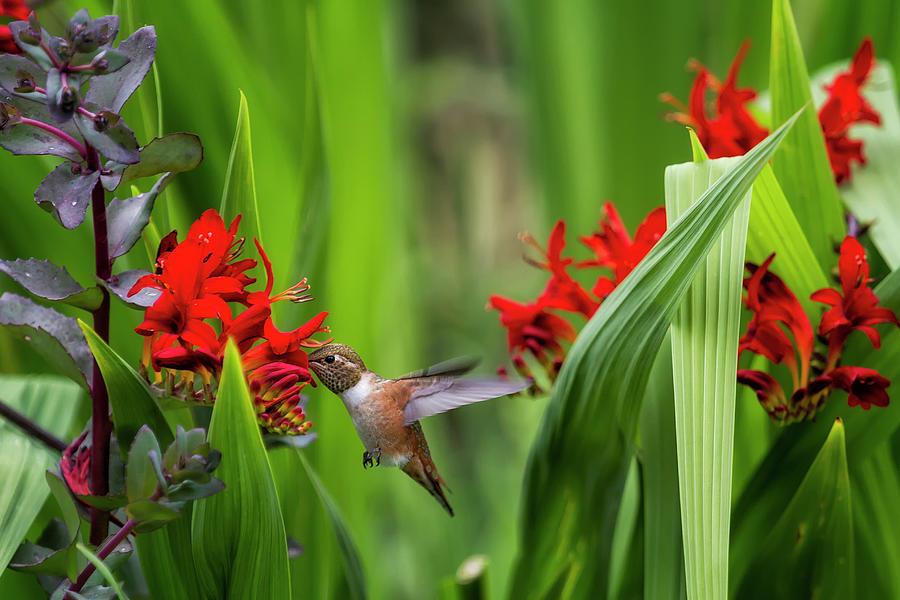 Rufous Hummingbird Feeding, No. 3 by Belinda Greb