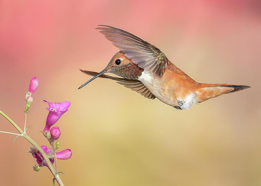 Rufous Hummingbird with Penstemon by James Capo
