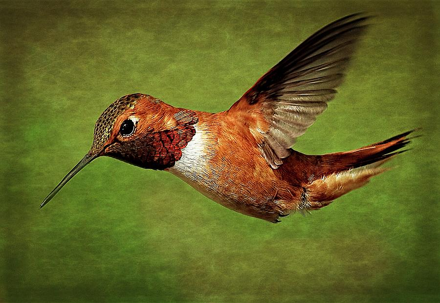 Rufous Portrait by Sheldon Bilsker