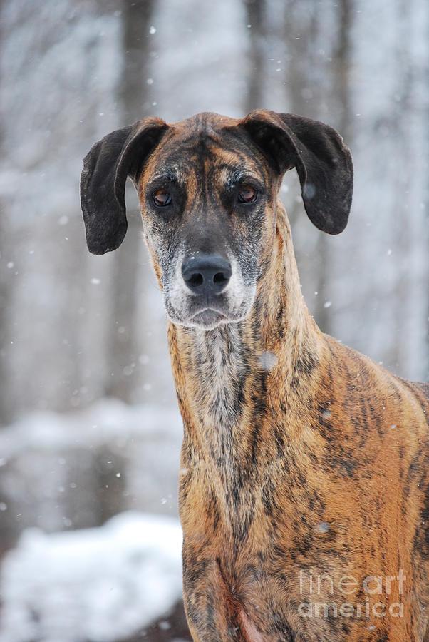 Dog Photograph - Rufus Dagoofus Great Dane by Lila Fisher-Wenzel