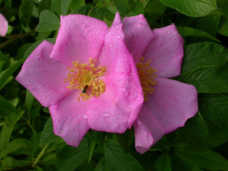 Flowers Photograph - Rugosa Rose by Raju Alagawadi
