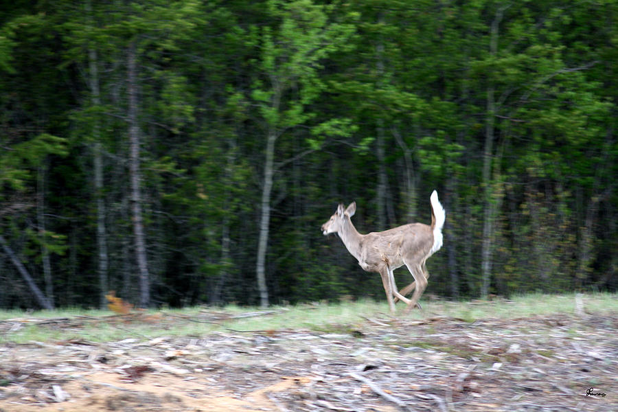 Running Deer Photograph by Andrea Lawrence