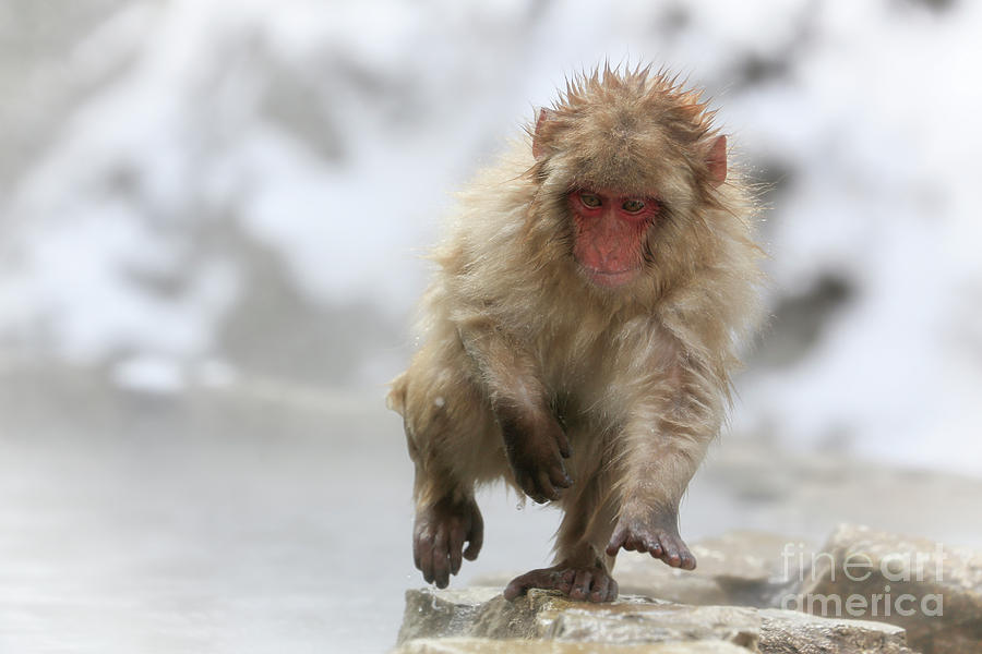 Snow Monkeys Photograph - Running Fast by Leigh Lofgren