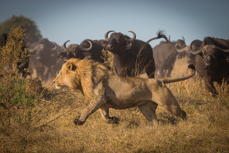 Nature Photograph - Running For His Life by Marc Meijlaers