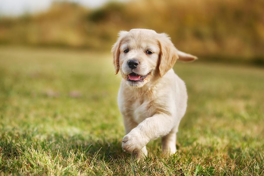 Running Golden Retriever Puppy Photograph By Mikkel Bigandt