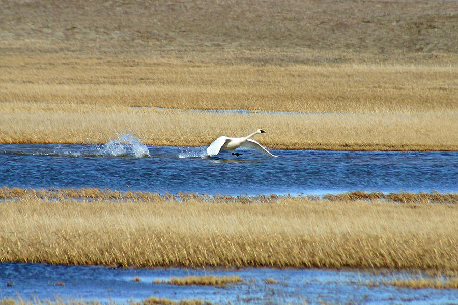 Swan Photograph - Running On Water by Anthony Jones
