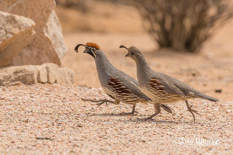 California Photograph - Running Through the Desert by Joan Wallner