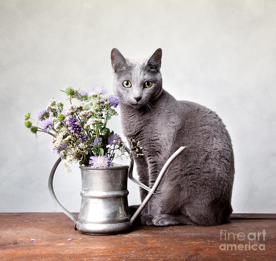 Cat Photograph - Russian Blue 02 by Nailia Schwarz