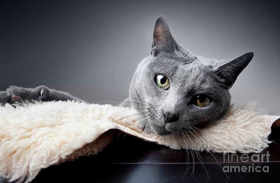 Russian Photograph - Russian Blue Cat by Nailia Schwarz
