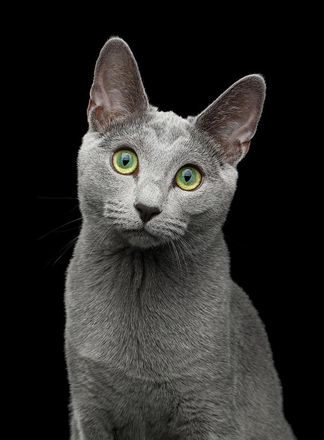 Cat Photograph - Russian blue cat with amazing green eyes on isolated black backg by Sergey Taran