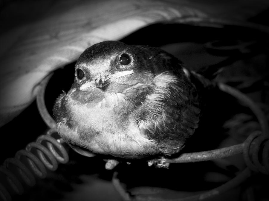 Baby Photograph - Rusted Perch - Baby Barn Swallow  by Christena Stephens