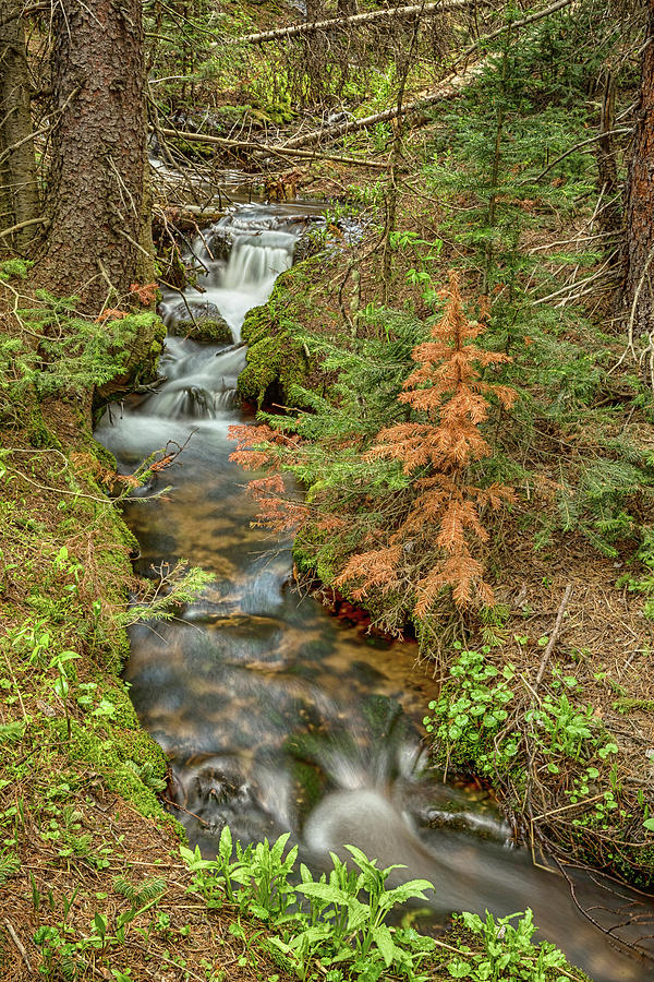 Rusty The Pine Tree And The Flowing Stream Photograph