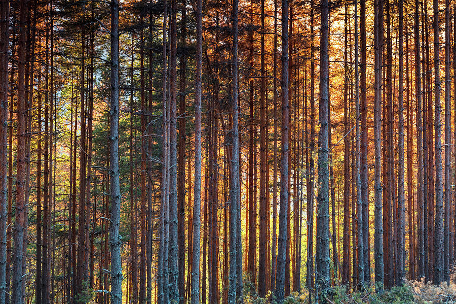 Bulgaria Photograph - Rusy Forest by Evgeni Dinev
