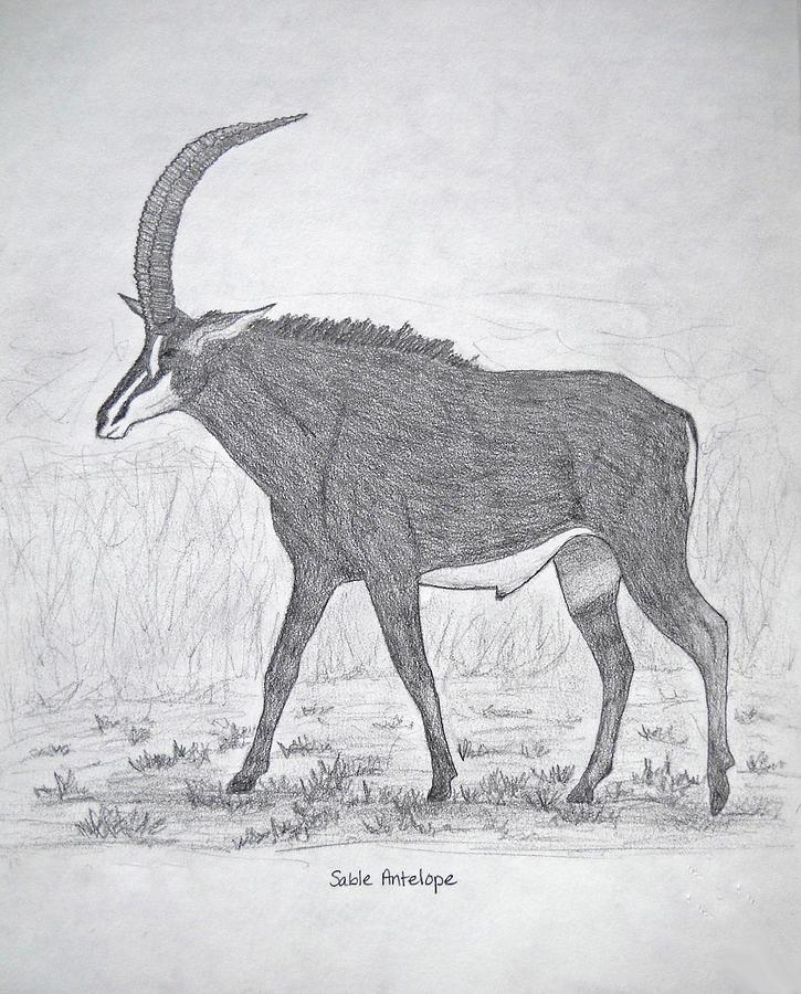 Sable Antelope Drawing by Julia Raddatz