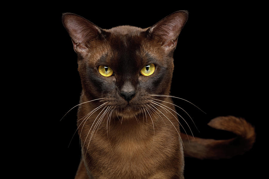 Sable Burmese Cat by Sergey Taran