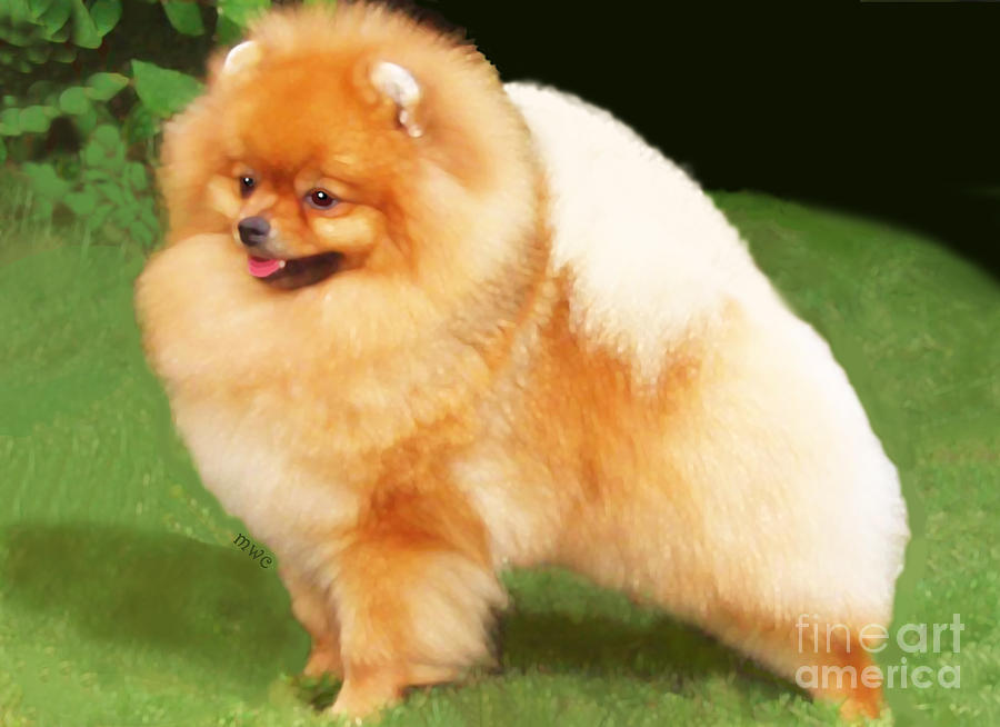 Sable Pomeranian by Marian Cates