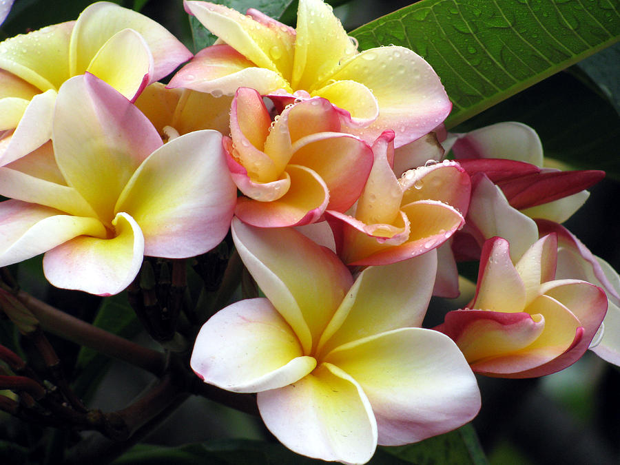 Plumeria Photograph - Sacuanjoche by Sarah Hornsby