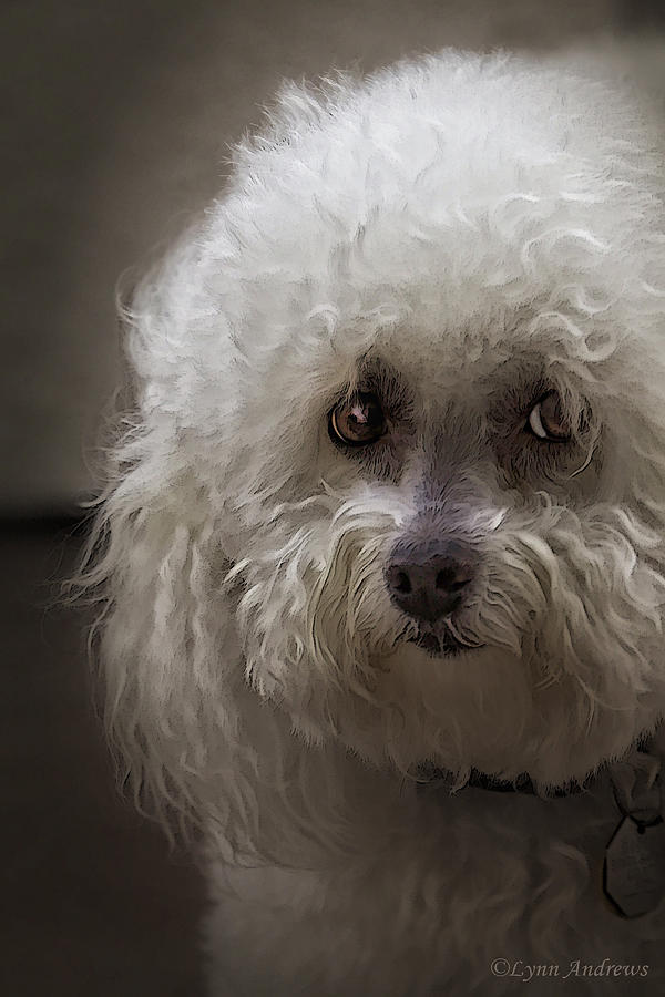 Bichon Frise Photograph - Sad by Lynn Andrews