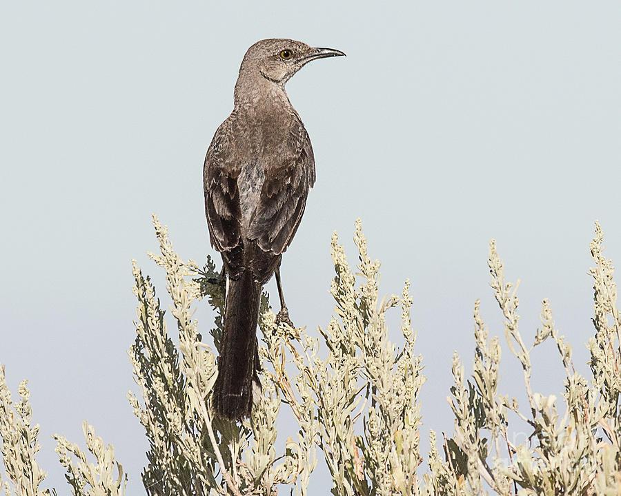 Bird Photograph - Sage Thrasher On Perch by Dennis Hammer