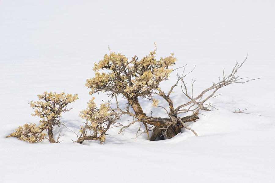 Sagebrush Bonsai In Snow Photograph By Shelley Dennis