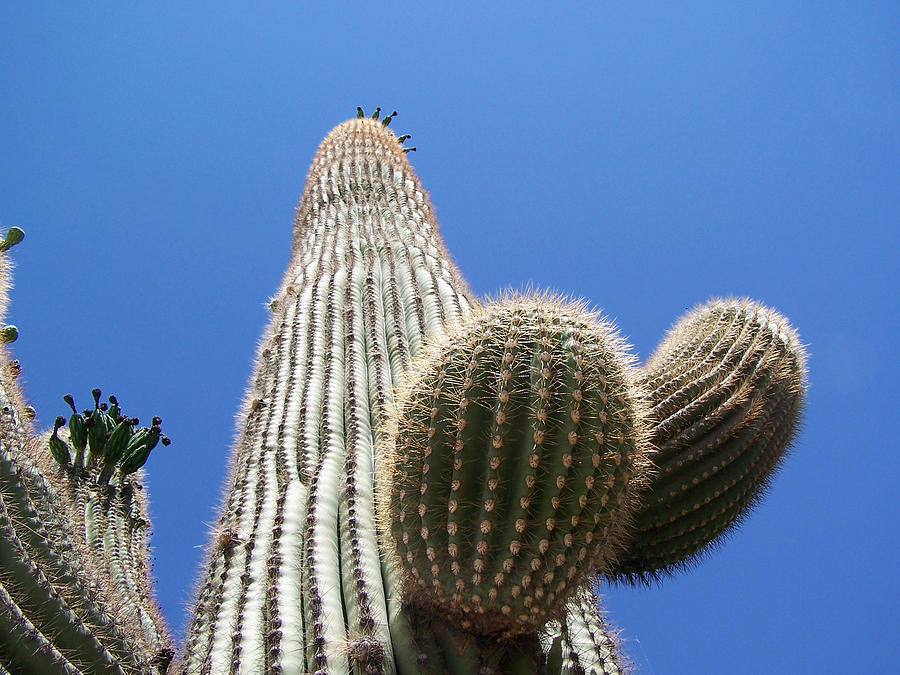 Digital Photograph - Saguaro 2 by Travis Wilson