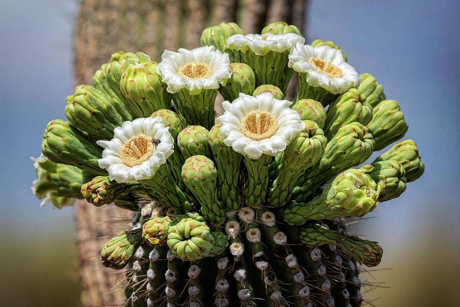 Saguaro Cactus Photograph - Saguaro Blooms - Arizona State Flower  by Saija Lehtonen