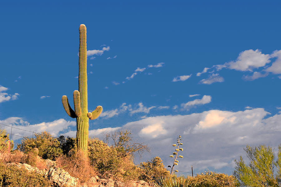 Cacti Photograph - Saguaro Cactus - Symbol Of The American West by Christine Till
