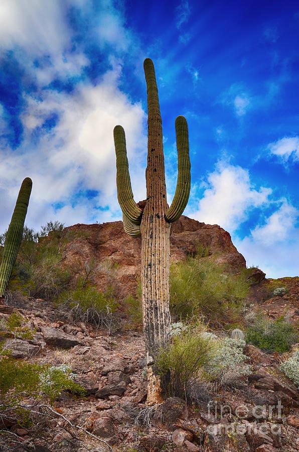 Saguaro Cactus by Donna Greene