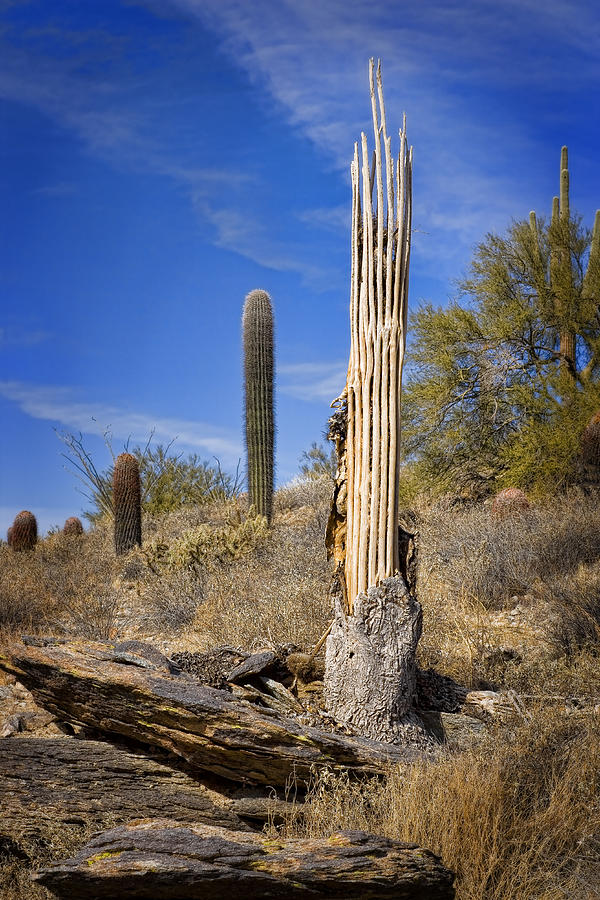 Saguaro Cactus Skeleton Photograph By Kelley King