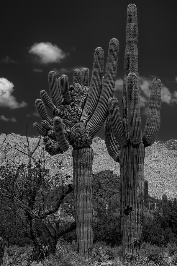 Saguaro Duo Bw Photograph