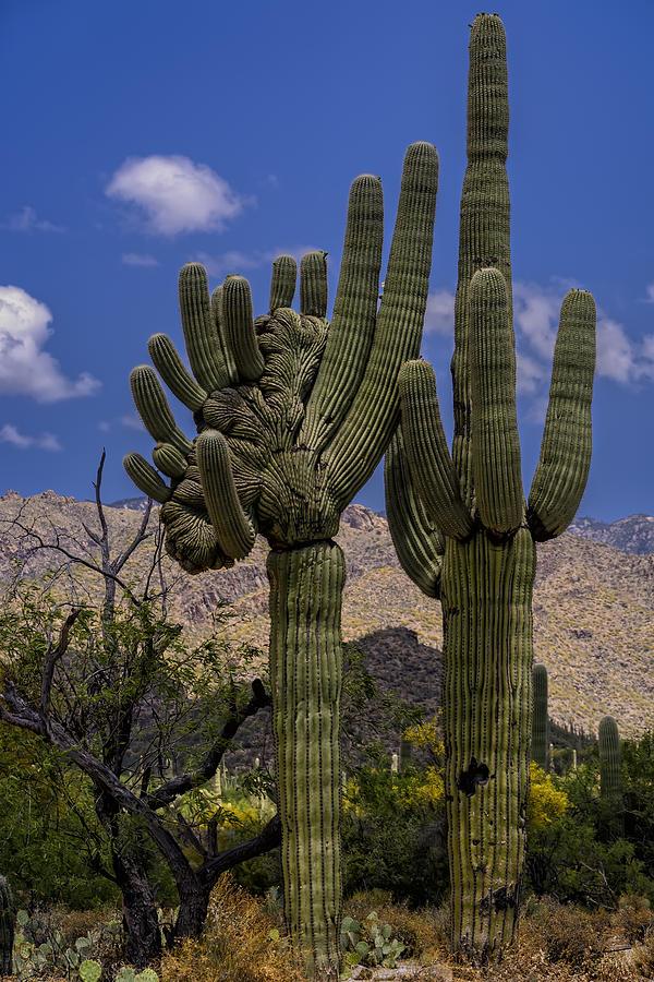 Saguaro Duo Photograph