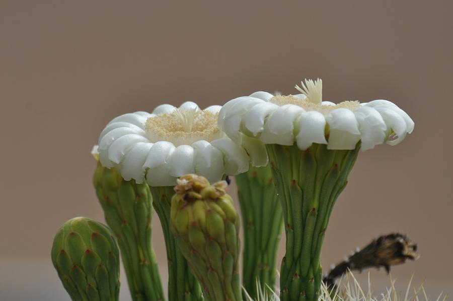 Saguaro Photograph - Saguaro Flower by Frank Madia