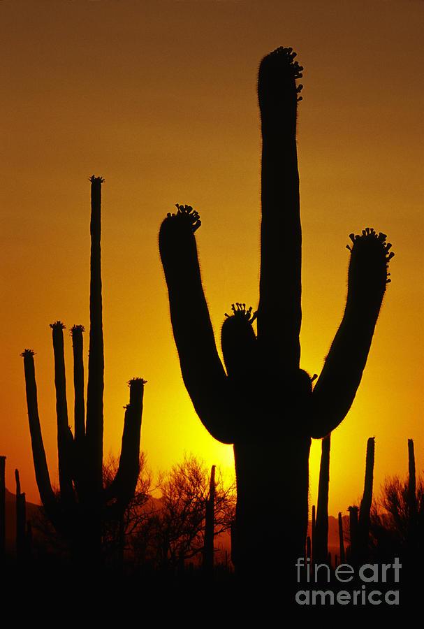 Southwest Photograph - Saguaro Sunset by Sandra Bronstein