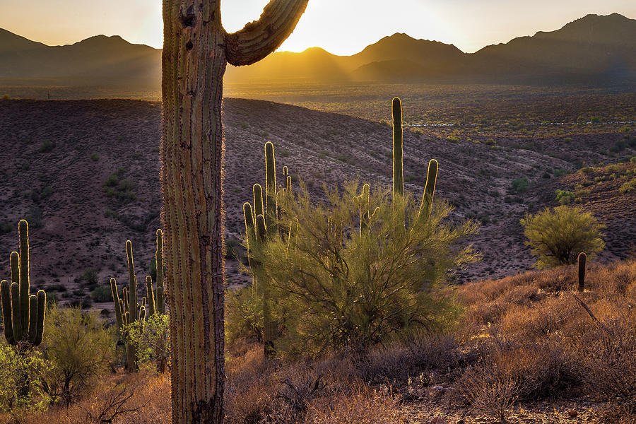 Saguaro Photograph - Saguaros At Sunset by Jen Manganello